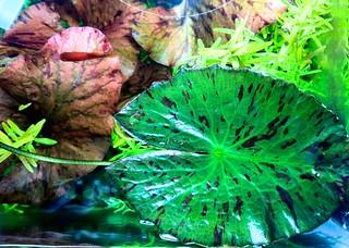 タイガーロータス浮葉