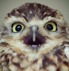 Noisiest Owl In The World