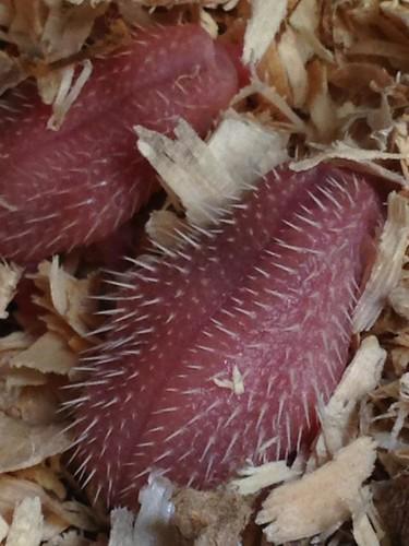 newborn hedgehogs