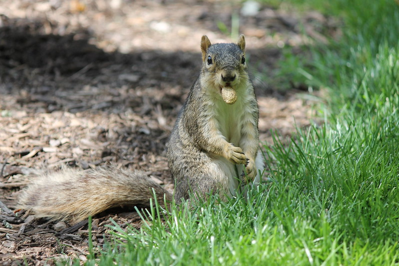 Squirrel at the University of Michigan (August 15, 2013) by cseeman