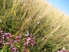 Blue butterfly on marjoram