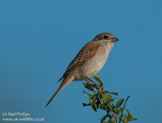 red backed shrike-7