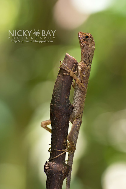Crested Lizard (Agamidae) - DSC_3361