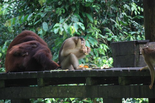 monkey hoping that the orangutans don't mind