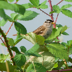 White crowned sparrow in wild berry patch