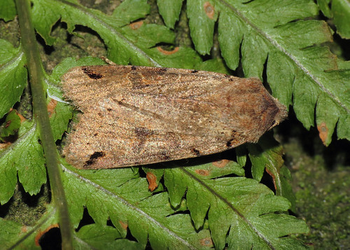 2266 Brown-spot Pinion - Agrochola litura