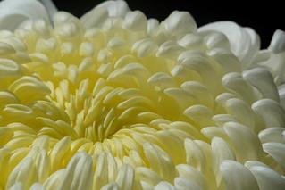 Chrysanthemum AW-08