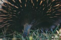echidna, animal, porcupine, monotreme, fauna, bird, wildlife,