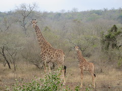 Students stumbled upon this mother giraffe and her young while tracking helmeted guinea fowl early one morning.