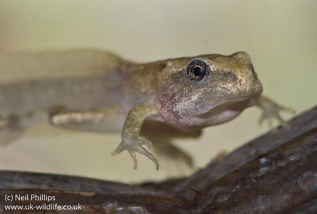 froglet-4