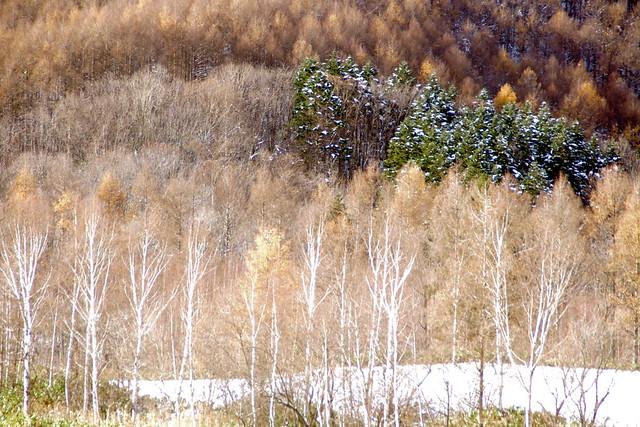初冬のカラ松3