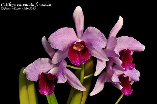 Cattleya purpurata f. venosa by Mauro Rosim