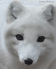 Cuteness in the Cold - Arctic Fox