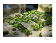 Moss (Cimitière du Montparnasse) (Cindo Paris Series 52-5mm  f=85mm  f2-2 on Nikon D800) 5