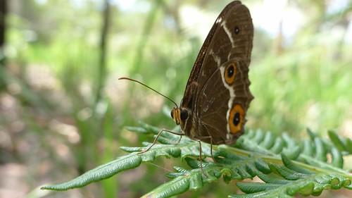 Male Varied Sword-grass Brown