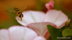 A bee rests