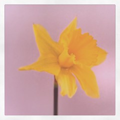 Spring is on it's way   #daffodils  http://www.walksandwalking.com