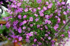 annual plant, flower, plant, breckland thyme, lilac, herb, wildflower, flora,