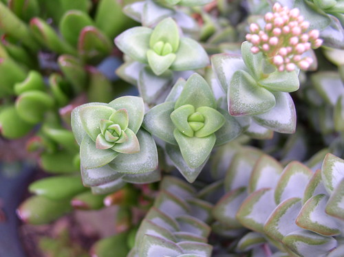 Crassula_rupestris_C325_EA943_110209_2 by Enez35