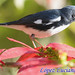 CIGUITA AZUL MACHO. Setophaga caerulescens.BLACK THROATED BLUE WARBLER. by LOPEZ LUCIANO