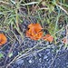 Small photo of Orangerote Becherling (Aleuria aurantia)
