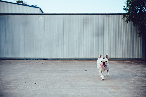 Sid the french bulldog