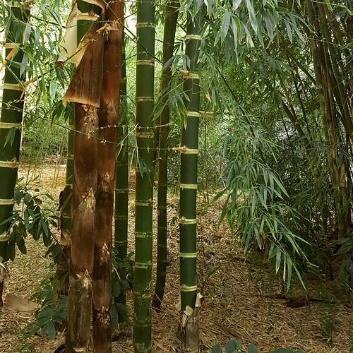 Guadua angustifolia Kunth. O aço vegetal. Coleção de Bambus da UDP Tatui da SMA/ SP