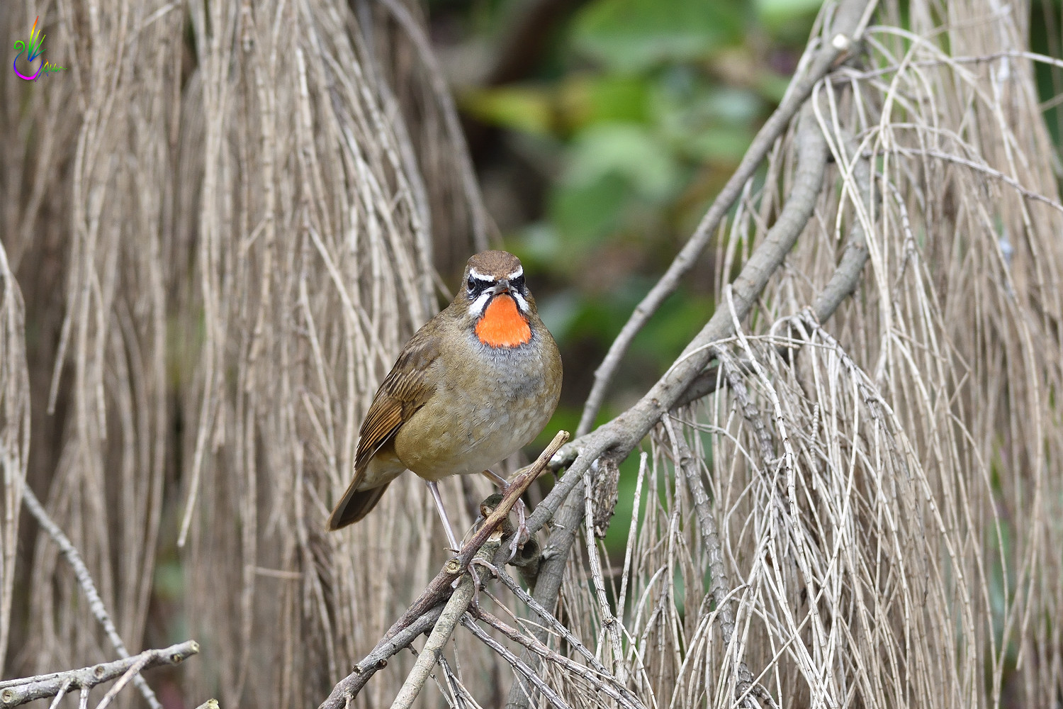 Rubythroat_7291