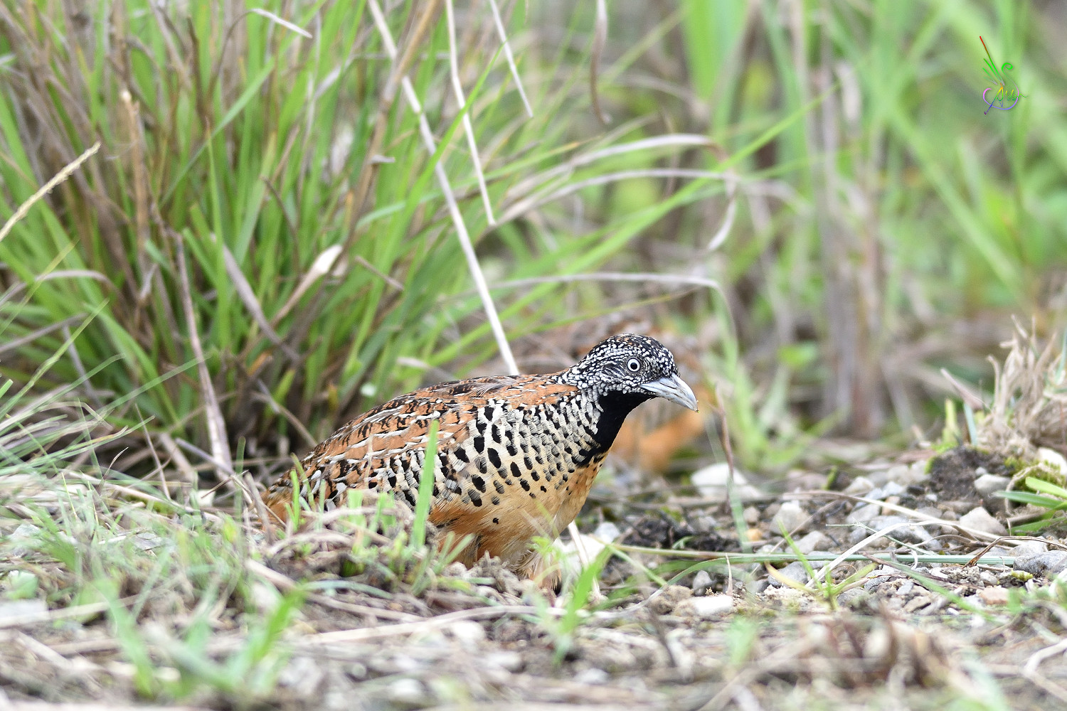 Barred_Buttonquail_3354