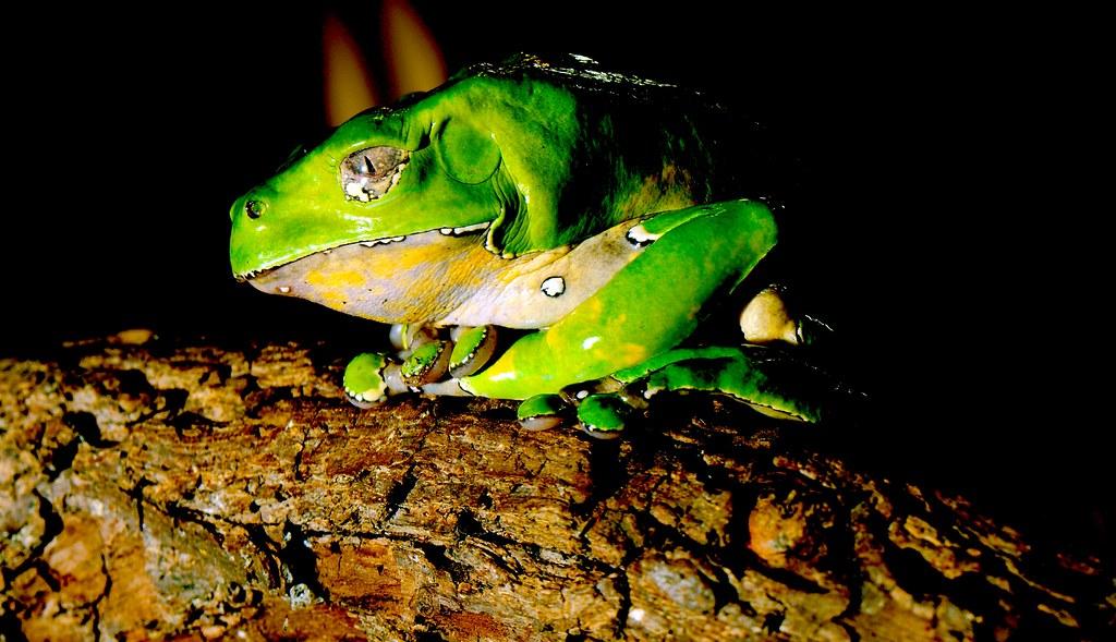 Giant Leaf Frog_1
