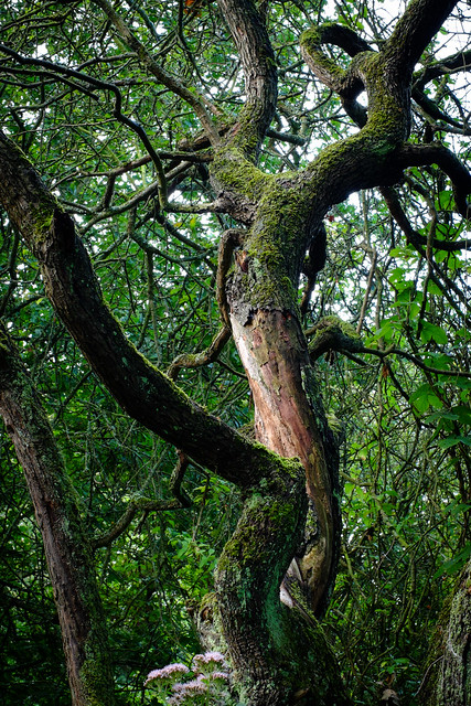 The winding tree, Fujifilm X-M1, XF35mmF1.4 R