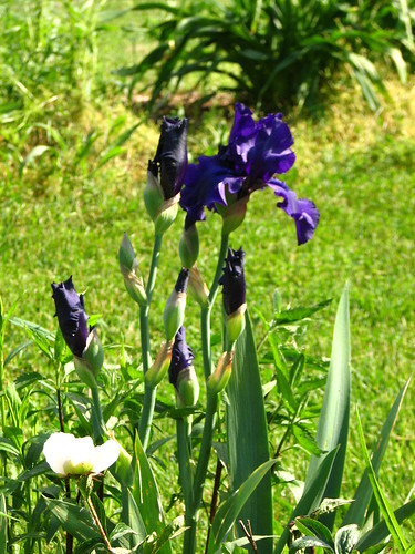 Iris 'Edge of Night'