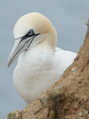 animal, fauna, close-up, booby, gannet, beak, bird, seabird, wildlife,