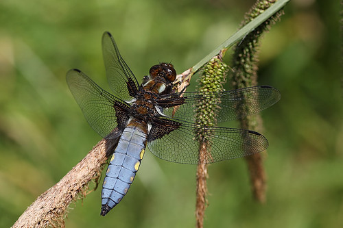 First dragonfly of 2013- Male broad-bodied chaser #4 by Lord V