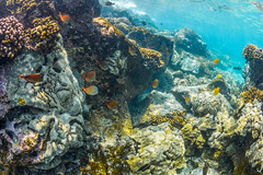 Brown Surgeonfish and Yellow Tangs along Coral Reef off Big Island of Hawaii