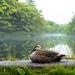 在那云雾缭绕的清晨,一只野鸭刚刚睡醒