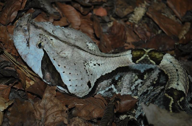 Protobothrops mangshanensis : Vivarium de Lausanne Suisse 9061568877_a725f8ccf4_c