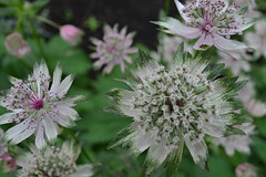 ASTRANTIA major ssp. involucrata 'Avondale'