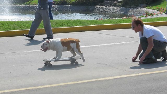 Benito el bulldog skater