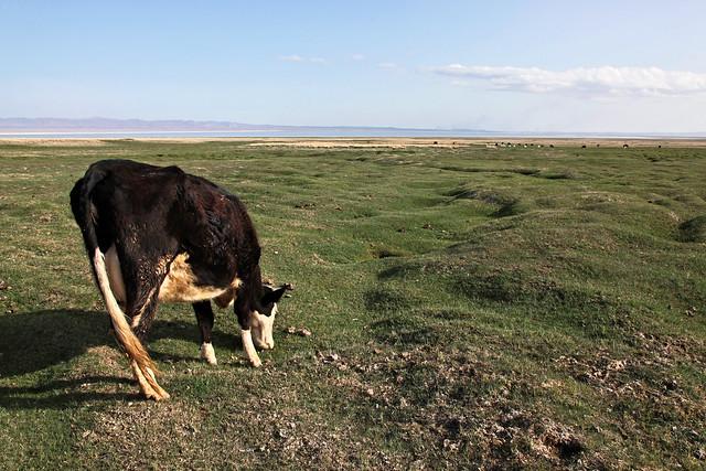 A cow eating breakfast, Barkol grassland バルクル、草原で朝食を食べる牛