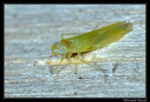 Cicadellidae/Typhlocybinae