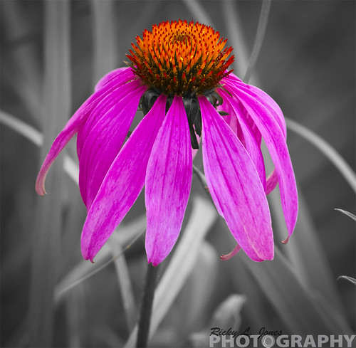 Coneflower (Echinacea) by Ricky L. Jones Photography