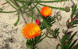 Fynbos wild flowers of the Bot River estuary