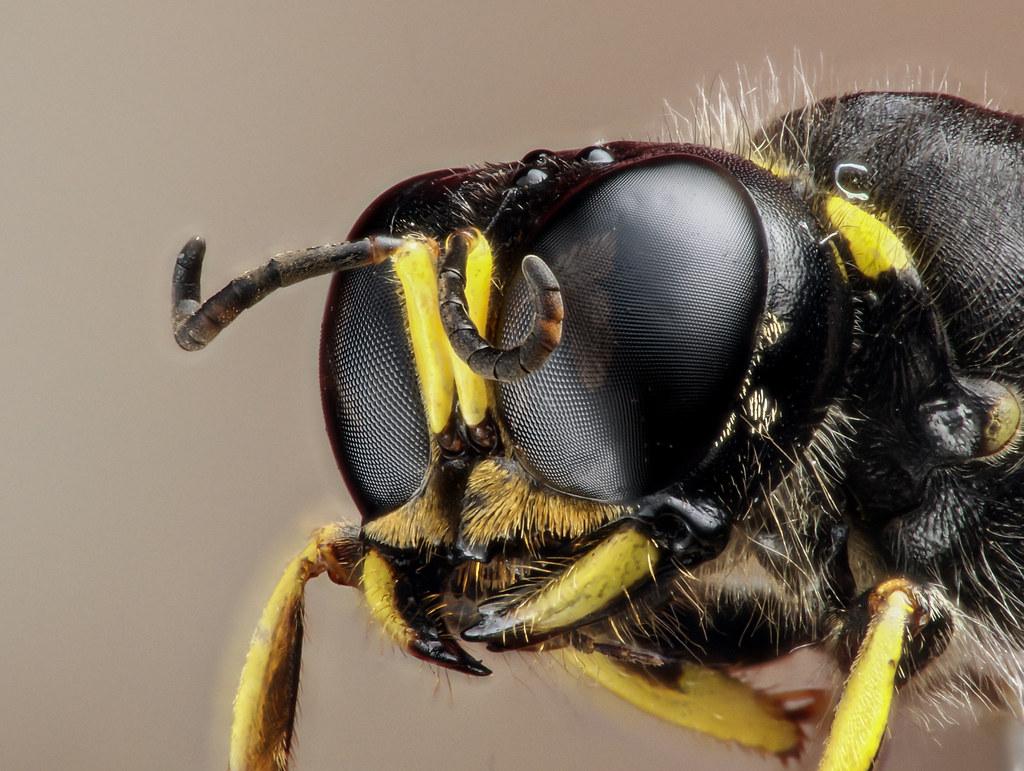 Solitary wasp [Ectemnius]