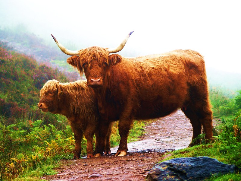Highland Cow with calf, West Highland Way, Scotland