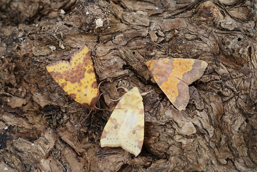 Pink-barred Sallow (Xanthia togata), Sallow (X. icteritia) and Barred Sallow (X. aurago)