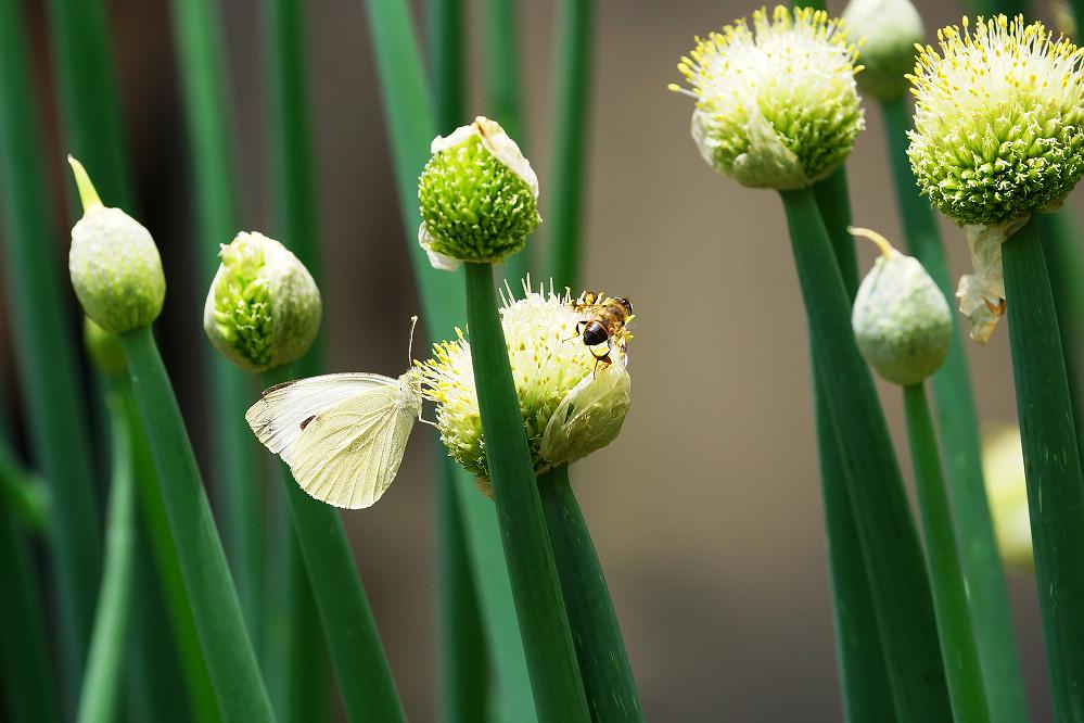 南亞粉蝶 -1