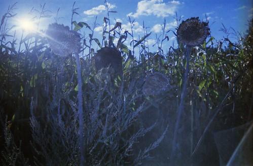 angeblytzte Sonnenblumen ym Gegenlycht