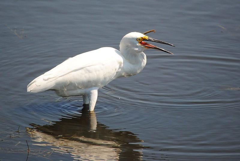 Американская белая цапля (Snowy egret )