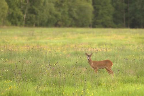 sweden deer